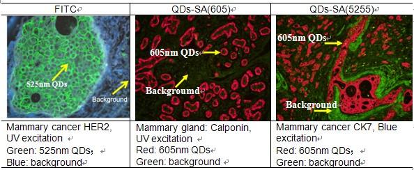 细胞爬片,细胞涂片等 成像平台:正置/倒置荧光显微镜